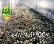Negosyong kabuteng saging. Alamin natin mula kay Bro. Gerry Contreras.<br/><br/>#StrawMushroom<br/>#BuhayBukid<br/>#Agriculture<br/>#Farming<br/>#Farmer<br/>#Magsasaka<br/>#Philippines<br/>#organic<br/>#AgriAkoDyan<br/>#TMTTV<br/><br/>Mushroom Caravan <br/>Sept. 20, 2021<br/>For more details: Brother Gerry Contreras<br/>Via C/P# 09225651982 or via email: gerry822contreras@gmail.com<br/><br/>Paki like at share ang aming Facebook page.<br/><br/>Website: http://manilatimestv.com/<br/>Youtube: https://bit.ly/3tokAfv<br/>Dailymotion: https://bit.ly/3rMjLwJ